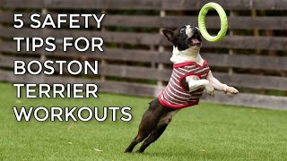 Are Boston Terriers An Athletic Dog Breed?