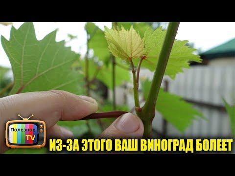 Почему виноград болеет