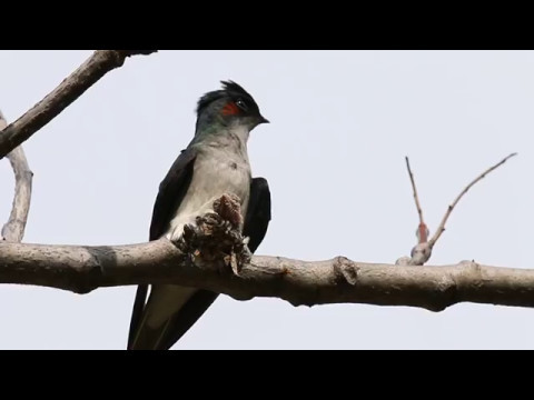 Grey-Rumped Treeswift Daddy calling wife to change shift. Video by Canon 300mm F2.8 lens on EOS 70D.