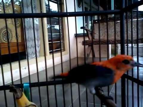 Burung Kemade Cabe Jawa Milik Rossi Yusuf Mlg Love Bird Youtube
