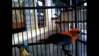 Burung kemade/cabe jawa_milik Rossi Yusu...