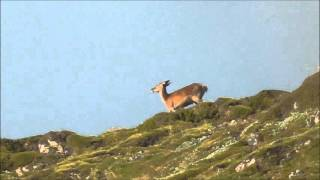 Hunting for a red stag - Southern Alps New Zealand