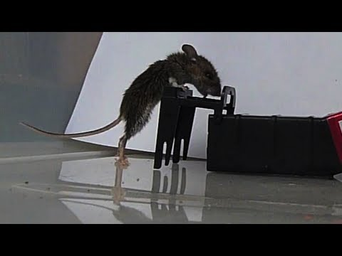 Mousetrap in Slow Motion - Kness Tip-Trap Humane Mousetrap
