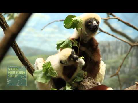 Baby Sifaka Lemur at the Wildlife Conservation Society Bronx Zoo