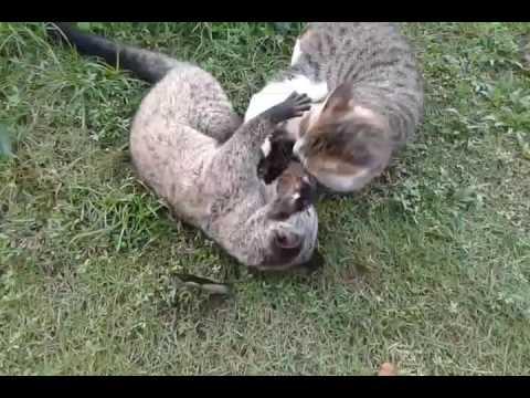 Musang dan kucing