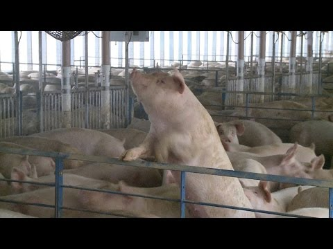 Environmental problems confront pig farming from YouTube · Duration:  19 minutes 34 seconds