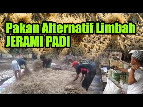 SOC - Pakan Alternatif Limbah Jerami padi