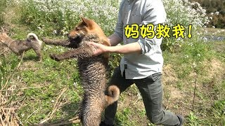 中华田园犬仔仔浪成了泥狗子,被主人直接扔到池塘里,如鱼得水。发布中...