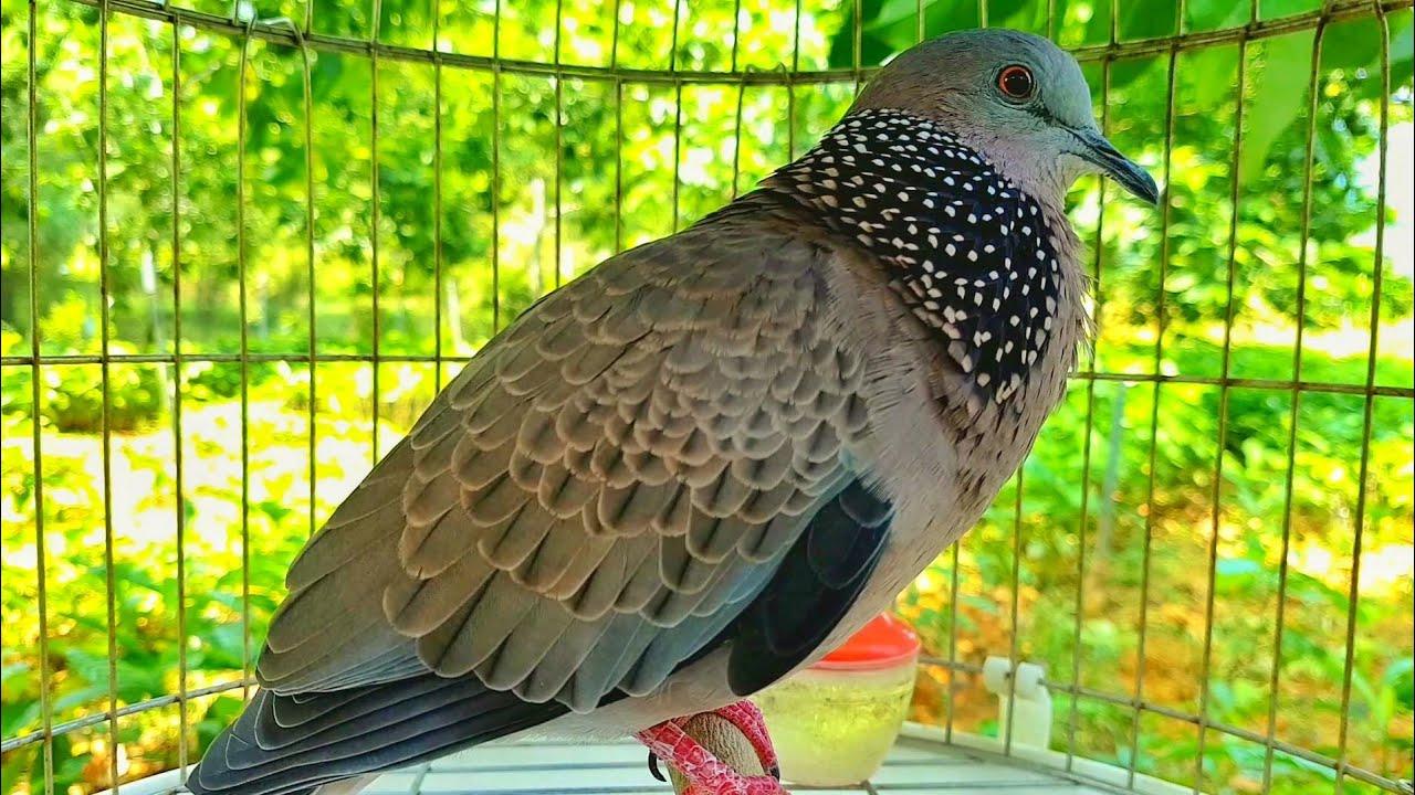 Download luyện giọng chim cu gáy mỗi ngày - tiếng gáy gọi chim cu gáy cực chuẩn