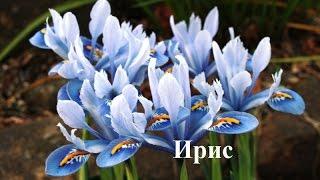 видео многолетние цветы картинки и названия