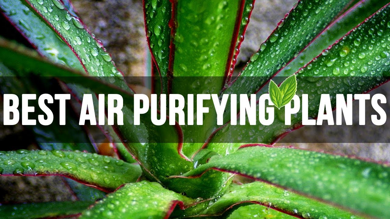 top 10 best air purifying plants every house should have youtube. Black Bedroom Furniture Sets. Home Design Ideas