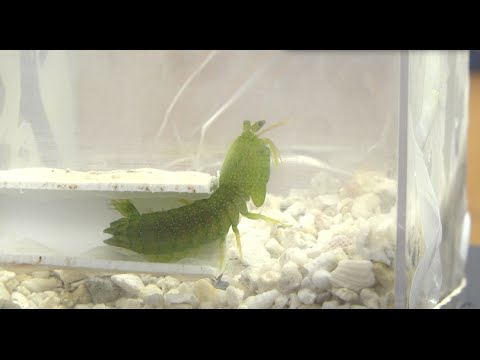 Mantis Shrimp Sparring {Duke University Research}