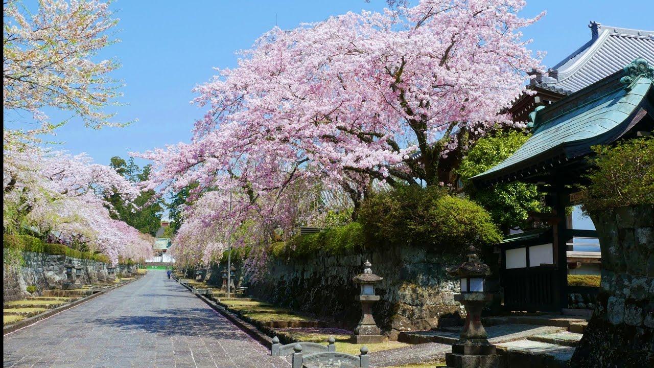 2017.04.12 大石寺境内の桜と冨...