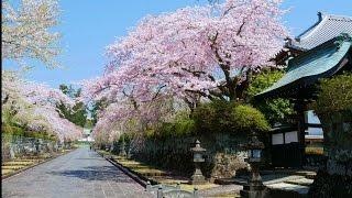 2017.04.12 大石寺境内の桜と冨士