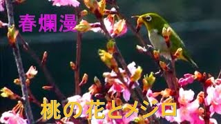 メジロ 梅 桃の花 春爛漫 Japanese-White-Eye with Peach flower