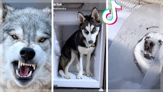 Husky Compilation ~ Cutest And Funniest Huskies of TikTok!