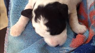 Shih-poo Dog Through Pregnancy And Whelp And Her Pups 1st 11 Weeks.wmv