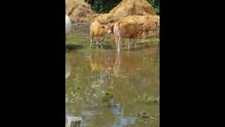 Vaches  dans l'eau depuis plus d'une semaine à Poce sur cisse (37)😠😠😠