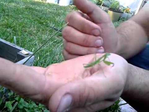 Prey mantis good luck