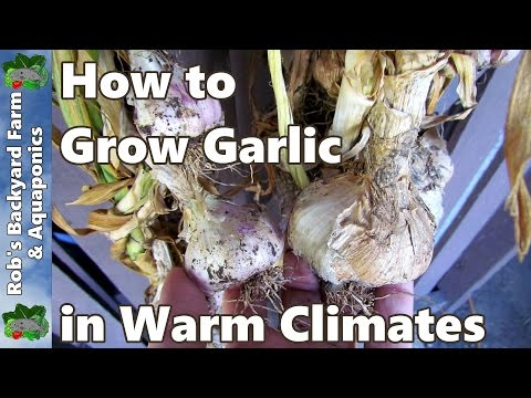 How to Grow Garlic in Warm Climates Using Vernalisation