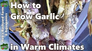 How to plant Garlic in Warm Climates. Vernalising the Cloves.