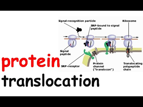 Cotranslational protein translocation