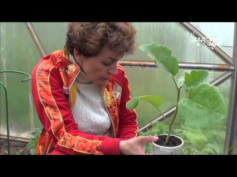 Урожайные сорта томатов для теплиц, Лучшие томаты для теплицы