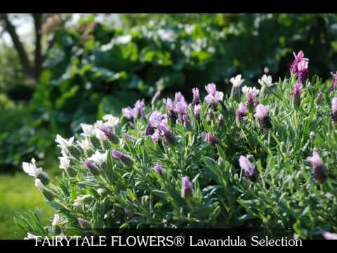 FAIRYTALE FLOWERS® Lavandula Selection - GB
