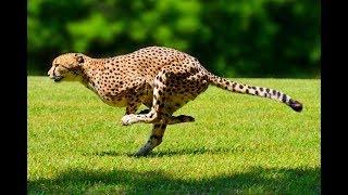 Сердце Намибии Детсад гепардов Жестокость природы животного мира Забота помощь человека диким кошкам