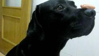 Linux - Labrador Black Retriever