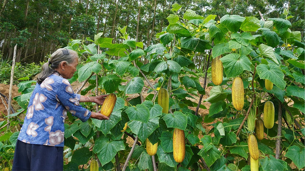 歷時3個月的大黃瓜,這樣製作,吃不完也能放3年 Guangxi grandma from growing cucumbers to making delicacies Chinese Food玉林阿婆
