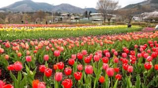 神奈川県立 秦野戸川公園・チューリップ