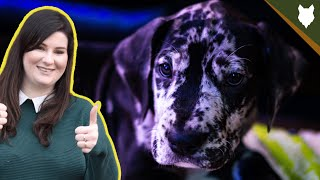 How To Find The PERFECT BREEDER For A GREAT DANE