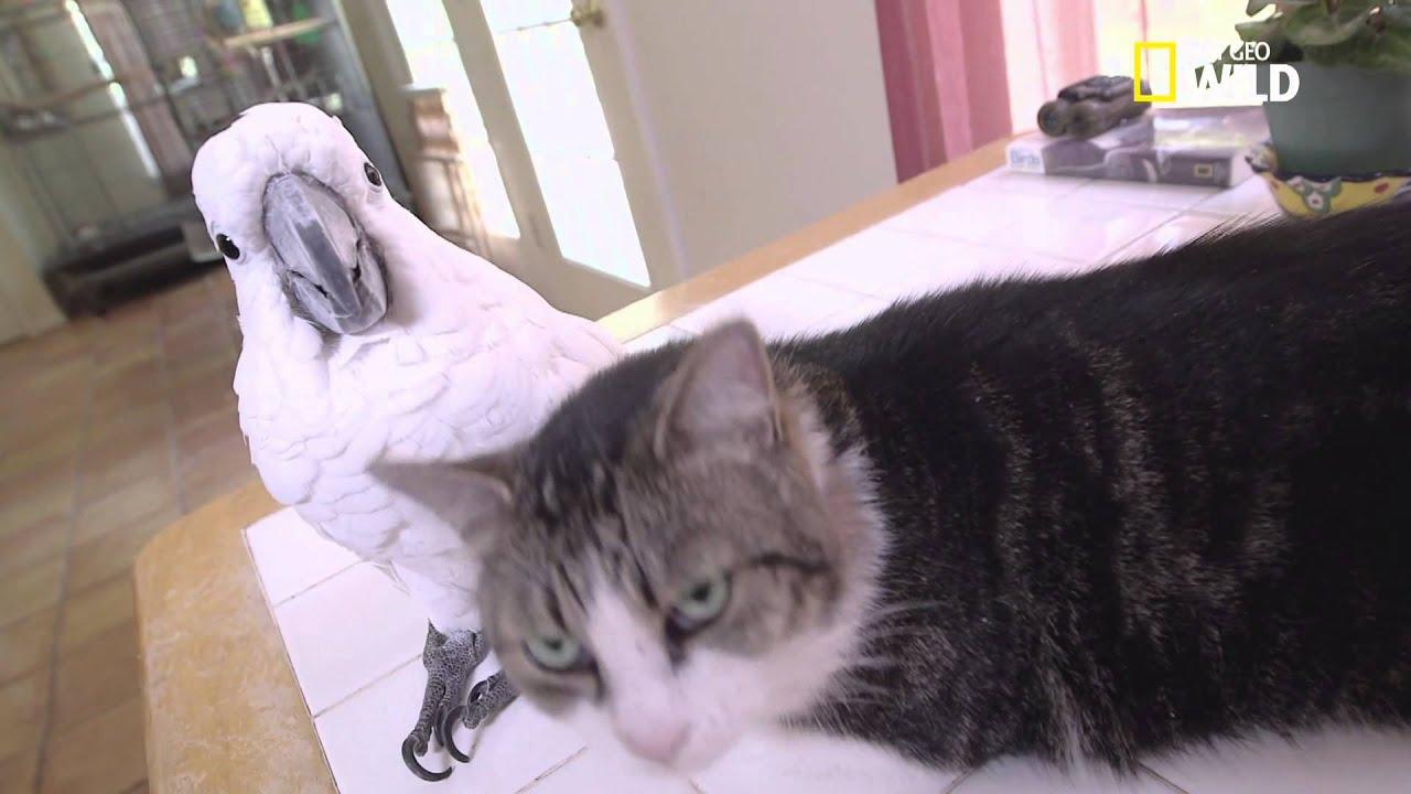 Un cacatoès et un chat sont meilleurs amis !