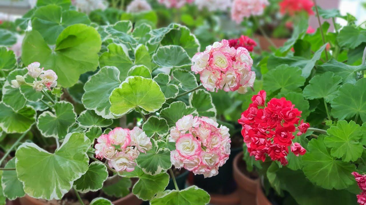 2020년06월30 일 제라늄꽃밭 : 화이트링, 핑크램블러가 폈어요! Pelargonium garden.