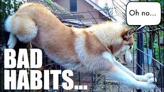 5 Bad Habits ALL Huskies Have!