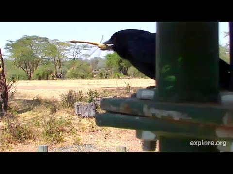 Drongo catching Dragonfly. Africa Watering Hole cam. 14 January 2018