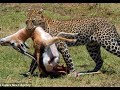 Cuộc Chiến Sinh Tồn Của Loài Báo