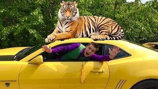 Tigris ATTACKED Mr. Joe on Chevrolet Camaro & Mr. Joe climbed on Roof of Car for Kids