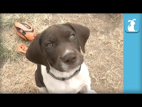 German Shorthair Pointer Puppies Nibble Your Fingers! - Puppy Love