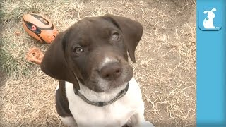 German Shorthair Pointer Puppies Nibble Your Fingers!  Puppy Love