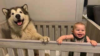 Giant Dog Saves Baby!! He Jumps In Her Crib To Protect Her!! (Cutest Dog Ever!)