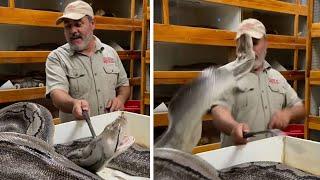 Tierpfleger will Eier von riesiger Python entwenden –die schnappt nach seinem Gesicht