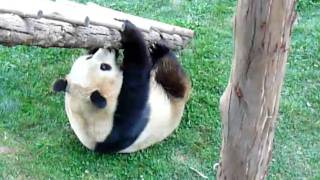 yingying816:Panda Si Jia somersault