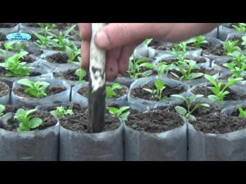 Цинерария виды, посадка, выращивания и уход