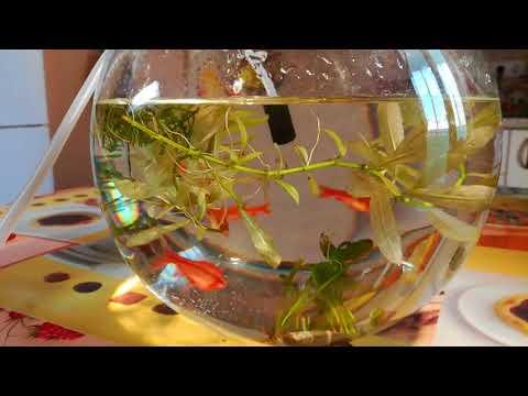 Вопрос: Вишневый барбус эффекто ли выглядит в аквариуме?