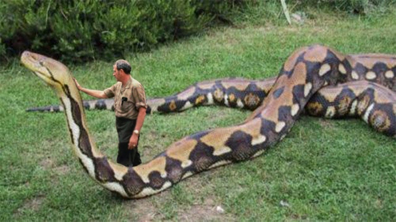 10 BIGGEST Snakes Ever!