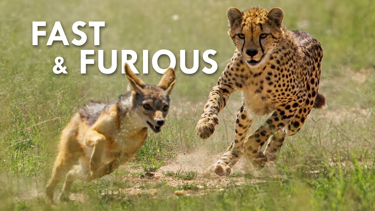 cheetahs-the-fastest-animals-on-land