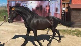 Así es la inseminación artificial en caballos
