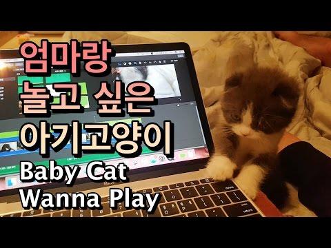 엄마랑 놀고 싶은 아기고양이 (Baby Cat Wanna Play With Mom) - 스코티쉬폴드 2개월